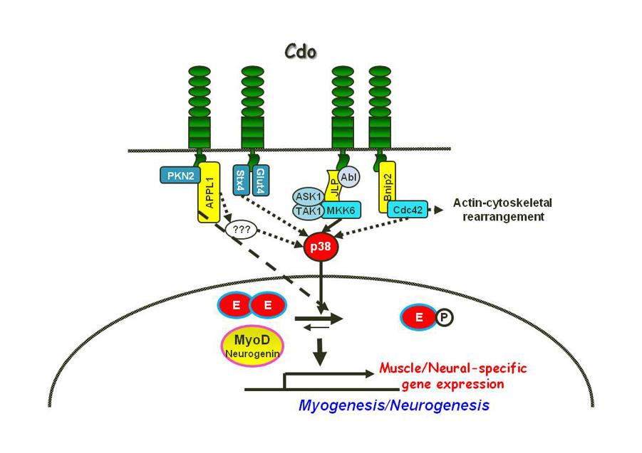 myogenesisneurogenesis